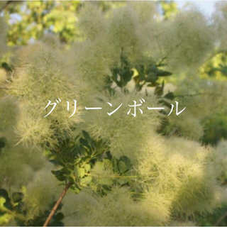 スモークツリー 苗 グリーンボール 苗木(その他)