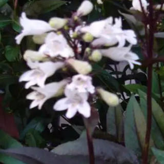 銅葉ペンステモン ハスカーレッド 種20粒(その他)