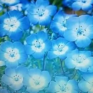 花の種 ネモフィラインシグニスブルー300粒以上 オマケ付き(その他)