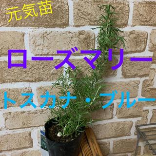 ローズマリー苗 トスカナ・ブルー③(その他)