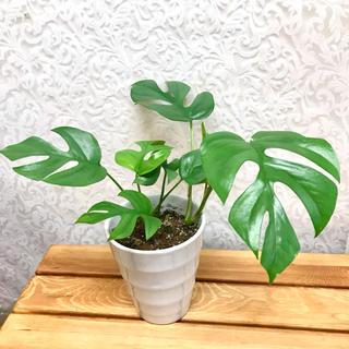 姫モンステラ★観葉植物★4寸(プランター)