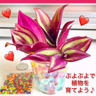 観葉植物 サブリナ&ぷよぷよボール【ポトス、ベビーサンローズ同梱割あり】(その他)