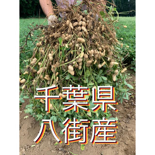 9月15日収穫分 千葉県八街産おおまさり1キロ(野菜)