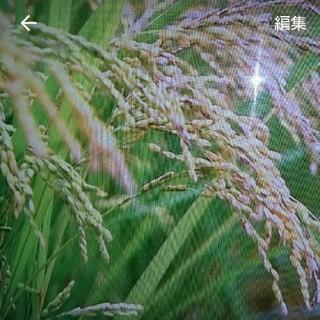 新米 茨城県産こしひかり(米/穀物)
