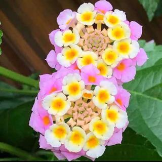 植物ランタナ根付き苗(その他)