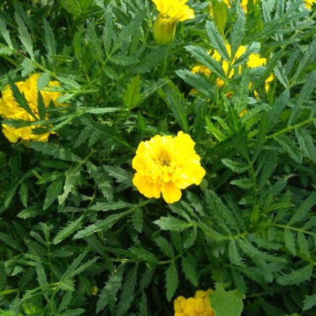 マリーゴールドの種(2020年9月~自家採種) ハンドメイドのフラワー/ガーデン(その他)の商品写真