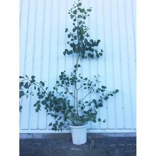 《現品》ユーカリ・ポポラス 樹高1.7m(鉢含まず)19【鉢/苗木/鉢植え】(その他)