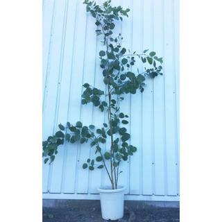 《現品》ユーカリ・ポポラス 樹高1.8m(鉢含まず)20【鉢/苗木/鉢植え】(その他)