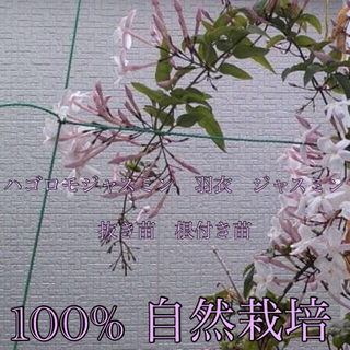 ジャスミン 羽衣 ハゴロモ 2苗 抜き苗 根つき苗 自然栽培 ネコポス(その他)