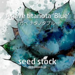 アガベの種 Agave titanota 'Blue' 20個(その他)