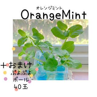 どんどん増える♪オレンジミント♡根出し苗(×4本)+おまけ♪(その他)