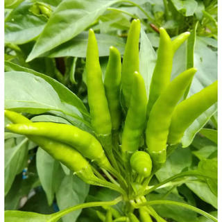 唐辛子の種 20粒くらい(野菜)