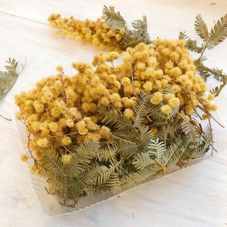 アカシアミモザのドライフラワーの小枝達50本+オマケ(ドライフラワー)