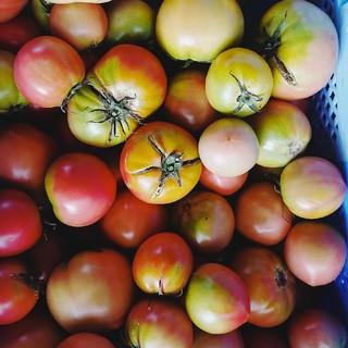 北海道産 規格外トマト 10㎏くらい(野菜)