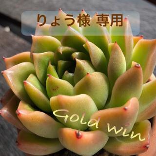 ゴールドウィン 多肉植物(その他)
