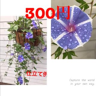 ●  即買いOK 「ハンキング朝顔」種 6粒 恋しぐれバイオレットブルー(プランター)