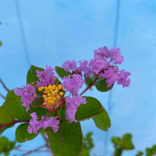 サルスベリ・紫花(ドライフラワー)