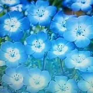 花の種 ネモフィラインシグニスブルー300粒 オマケ付き(その他)