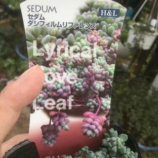 多肉植物 ピンクトルマリン様おまとめ(その他)