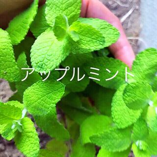 無農薬ミント2種セット根っこ付き苗おまけ2つ付き(その他)