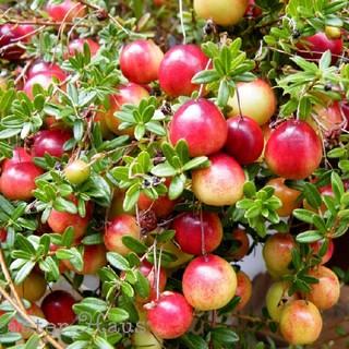 大人気☆赤い実が可愛いクランベリー(ツルコケモモ)の挿し穂5本+おまけ(プランター)