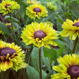 ルドベキア フォレストグリーン 花の種(その他)