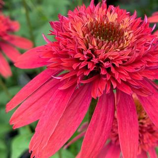 エキナセア ダブルスクープラズベリー 花の種(その他)