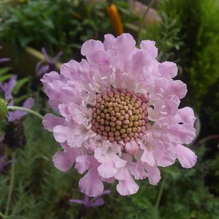 スカビオサ ピンクレース 花の種(その他)