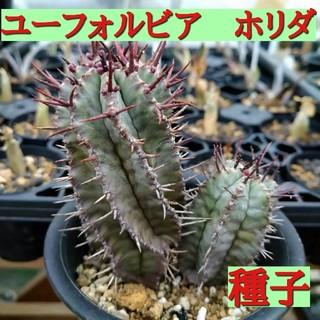 種子10粒 多肉植物 ユーフォルビア ホリダ(その他)