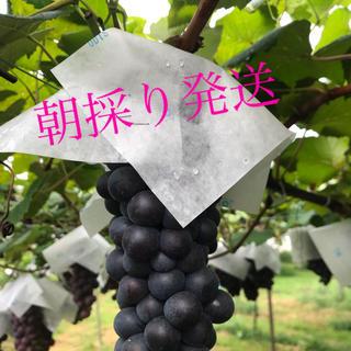 ぶどう スチューベン 山形県産 朝採り発送(フルーツ)