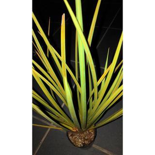 耐寒性・耐乾性◆剣状植物リベルティア ゴールドストライプ ユッカ アガベ(その他)