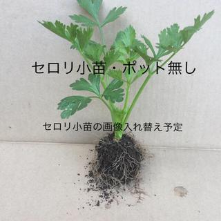 セロリ苗の根と土付き ポット無し発送  ☆ 在庫の確認(野菜)