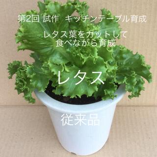 レタス  キッチンテーブル育成  【 丸プランター6号育成 】(野菜)