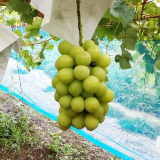 ヒゲ様専用山梨県産葡萄 シャインマスカット約4キロ 送料込み(フルーツ)