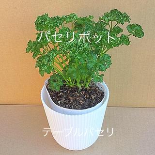 パセリ苗 11.4 植え替え作業    テーブルポット   略称: POT11(野菜)