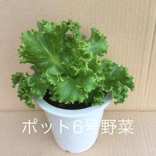 レタス葉をカットして食べながら育成 /  レタスポット付き(野菜)