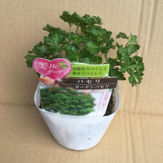 ガーデン パセリ苗   第4種で、320g 苗が重い発送  (野菜)