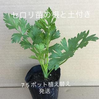 セロリ苗の根と土付き   7.5 ポット植え替え発送 ⚠️5/02.在庫切れ(野菜)