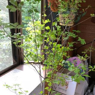 生花ドウダンツツジ ヤマドウダン 100cm×3本入り 枝物切り花(その他)