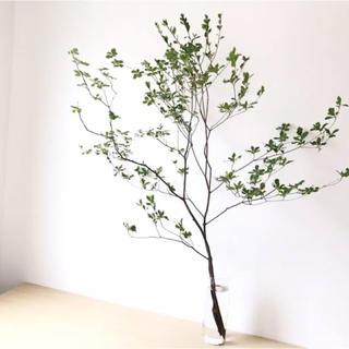 生花ドウダンツツジ ヤマドウダン 70〜80cm×3本入り 枝物切り花(その他)