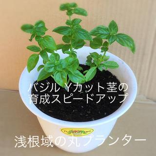 バジル Yカット茎の育成スピードアップ  「 浅根域の丸プランター 」(野菜)