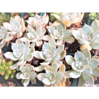サブセシリス 抜き苗2株 オマケ付き 多肉植物(その他)