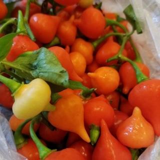 ビキーニョの種(野菜)