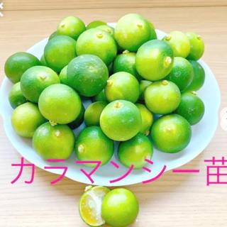 フィリピン名産カラマンシー(四季橘)赤ちゃん苗4cmポット2株入り(その他)