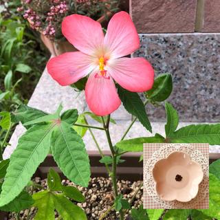 ハイビスカスに似て可愛い♡『アジアンハイビスカス(アベルモスクス)』花の種20粒(その他)