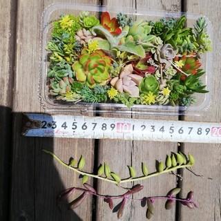 多肉植物  ⑥ カット苗 つぶつぶ多肉+オマケ(その他)