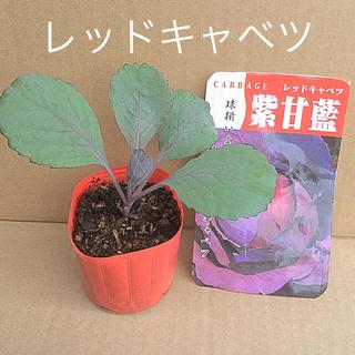 レッドキャベツ 苗    紫甘藍 (野菜)