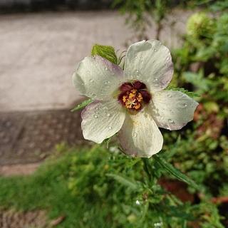 種3種ギンセンカ(銀銭花)の種40粒+オルレア種+ニゲラ ブルー色各20粒   (プランター)