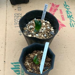 多肉植物ハオルチア葉挿し2本セット(その他)