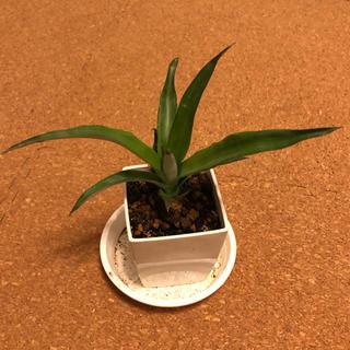 パイナップル苗 沖縄産 観葉植物(その他)
